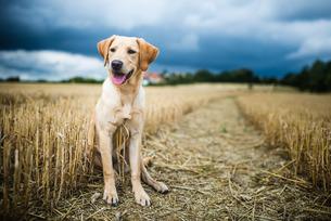 Labrador in field, Oxfordshireの写真素材 [FYI03777505]