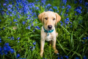 Labrador in bluebells, Oxfordshireの写真素材 [FYI03777506]