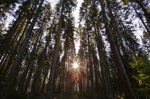 Conifer plantation in Plymbridge Woods, Plymouth, Devonの写真素材 [FYI03777558]