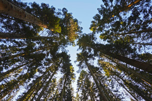 Conifer plantation in Plymbridge Woods, Plymouth, Devonの写真素材 [FYI03777559]