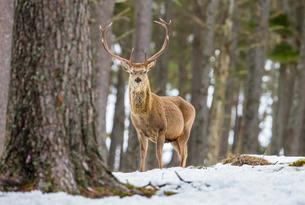 Red deer stag (Cervus elaphus), Scottish Highlands, Scotlandの写真素材 [FYI03777566]
