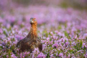 Red grouse (Lagopus lagopus), Yorkshire Dalesの写真素材 [FYI03777572]