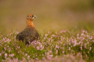 Red grouse (Lagopus lagopus), Yorkshire Dalesの写真素材 [FYI03777573]