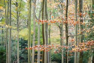 Trees, autumn, Leigh Woods, Bristolの写真素材 [FYI03777581]
