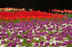 Field of Dutch tulips near Amsterdam, The Netherlandsの写真素材 [FYI03777625]