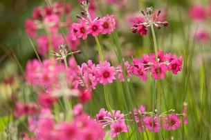 Pink flowersの写真素材 [FYI03777635]