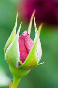 Rose bud bursting into flowerの写真素材 [FYI03777649]