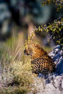Leopard (Panthera pardus) resting on a termite mound, Moremi, Okavango Deltaの写真素材 [FYI03777688]