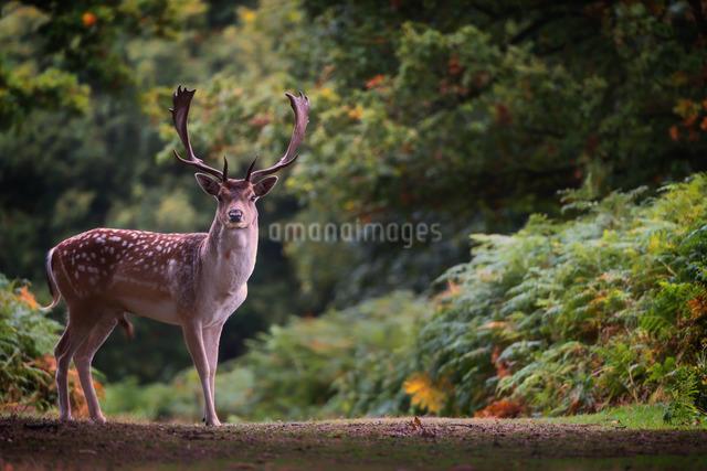 Fallow deer (Dama dama) in an autumnal forest, Bradgateの写真素材 [FYI03777732]