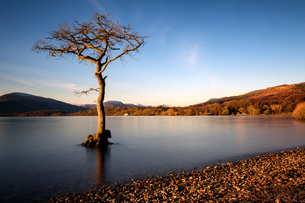 Lone tree at Loch Lomond, Scotlandの写真素材 [FYI03777743]