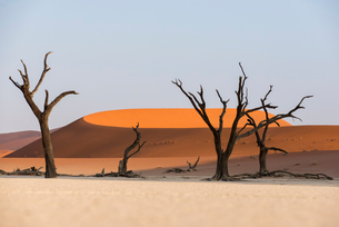 Dead acacia trees silhouetted against sand dunes at Deadvlei, Namib-Naukluft Park, Namibiaの写真素材 [FYI03777859]
