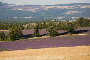 Lavender fieldsの写真素材 [FYI03778252]