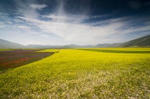 Fields of lentils, Highland of Castelluccio di Norcia, Norcia, Umbriaの写真素材 [FYI03778306]