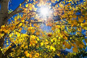 Sun through autumn leavesの写真素材 [FYI03778778]