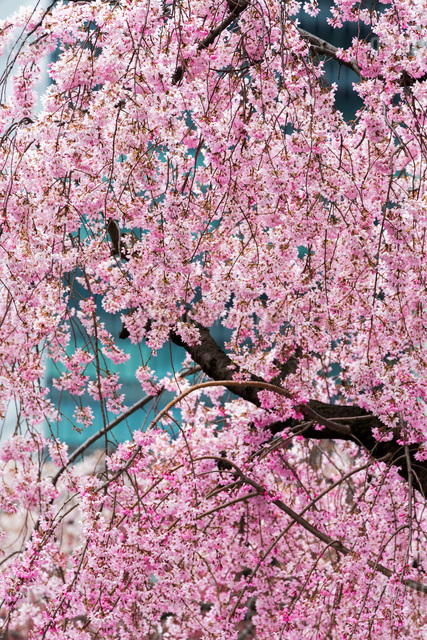 Beautiful cherry blossom in full bloom in Tokyo Imperial Palace East Gardens, Tokyo, Japanの写真素材 [FYI03779307]