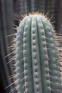 Cactus, Azureocereus Hertlingianus Backeb, Jardin Botanico (Botanical Gardens), Valencia, Costa delの写真素材 [FYI03779523]