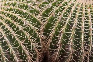 Cactus, Echinocactus Grusonii Hildmann, Jardin Botanico (Botanical Gardens), Valencia, Costa del Azaの写真素材 [FYI03779526]