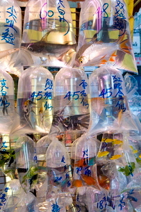Fish in bags in Tung Choi Street, a street full of shops selling tropical fish, koi carp and goldfisの写真素材 [FYI03779638]