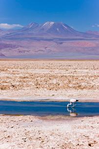Flamingo breeding site, Laguna Chaxa, Salar de Atacama, Atacama Desert, Norte Grandeの写真素材 [FYI03779818]