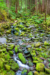 Rain Forest with small creek, Olympic National Park, Washington'の写真素材 [FYI03779962]