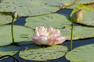 Pond filled with lotus, Tamil Naduの写真素材 [FYI03780015]