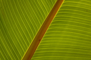 Close-up of plantain leafの写真素材 [FYI03780030]