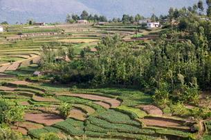Terrace farming, Marayoor, Idukki district, Keralaの写真素材 [FYI03780035]