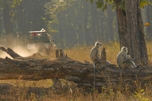 Hanuman Langurs in Kanha, Madhya Pradeshの写真素材 [FYI03780044]