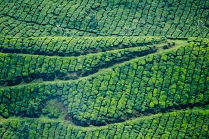 Tea gardens, Munnar, Keralaの写真素材 [FYI03780046]