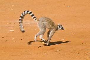 Ring-tailed Lemur (Lemur catta), Berenty Private Reserve, Madagascarの写真素材 [FYI03780502]