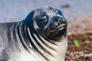 Elephant seal on Punta Ninfas, Chubutの写真素材 [FYI03780712]