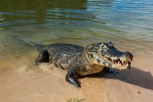 Alligator (Yacare caiman), Pantanal, Brazilの写真素材 [FYI03780766]