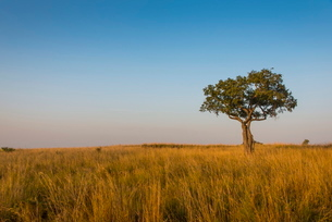 Lonely tree in the Savannah of the Murchison Falls National Park, Ugandaの写真素材 [FYI03780900]