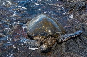 Sea turtle (Chelonioidea), Punaluu Black Sand Beach on Big Island, Hawaiiの写真素材 [FYI03780981]