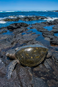 Sea turtle (Chelonioidea), Punaluu Black Sand Beach on Big Island, Hawaiiの写真素材 [FYI03780988]