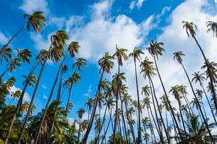 Palm grove in Kaunakakai, island of Molokai, Hawaiiの写真素材 [FYI03781018]