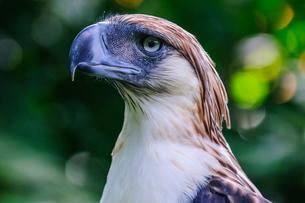 Philippine eagle (Pithecophaga jefferyi) (Monkey-eating eagle), Davao, Mindanao, Philippines, Southeの写真素材 [FYI03781285]