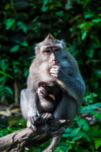 Crab-eating macaque (Macaca fascicularis), Monkey Forest, Ubud, Bali, Indonesia, Southeast Asiaの写真素材 [FYI03781407]