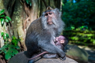 Crab-eating macaque (Macaca fascicularis) mother with baby, Monkey Forest, Ubud, Bali, Indonesia, Soの写真素材 [FYI03781414]