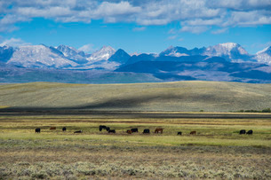 Cattle grazing in front of the mountains of the Caribou National Forestの写真素材 [FYI03781628]