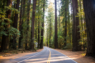 Road leading through the Avenue of the Giants, giant Redwood trees, Northern California, USAの写真素材 [FYI03781666]