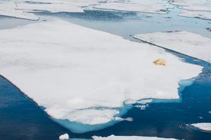Polar bear (Ursus maritimus) on a ice floe in the Arctic shelf, Svalbard, Arcticの写真素材 [FYI03781687]