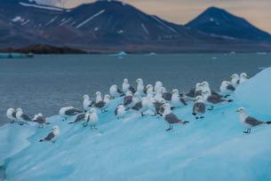 Kittiwakes sitting on a huge piece of ice, Hornsund, Svalbard, Arctic, Norway, Scandinaviaの写真素材 [FYI03781716]