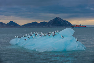 Kittiwakes sitting on a huge piece of glacier ice with an expedition boat in the background, Hornsunの写真素材 [FYI03781717]