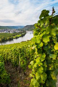 Vineyards around the Moselle at Trittenheim, Moselle Valley, Rhineland-Palatinateの写真素材 [FYI03781798]