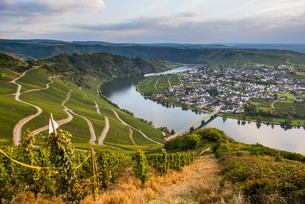 Vineyards around Piesport and the Moselle River, Moselle Valley, Rhineland-Palatinateの写真素材 [FYI03781802]
