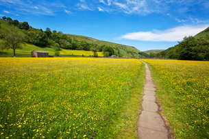Paved footpath across buttercup meadows at Muker, Swaledale, Yorkshire Dales, Yorkshireの写真素材 [FYI03782888]