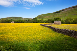 Field barns and buttercup meadows at Muker, Swaledale, Yorkshire Dales, Yorkshireの写真素材 [FYI03782889]