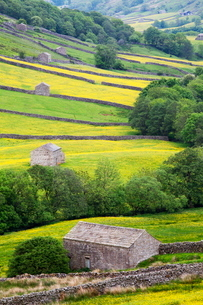 Field barns in buttercup meadows near Thwaite in Swaledale, Yorkshire Dales, Yorkshireの写真素材 [FYI03782897]