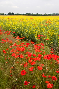 Poppies in an oilseed rape field near North Stainley, Ripon, North Yorkshire, Yorkshireの写真素材 [FYI03782910]